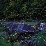 清流に棲むゲンジボタル – SONY α7 III(ILCE-7M3)撮影