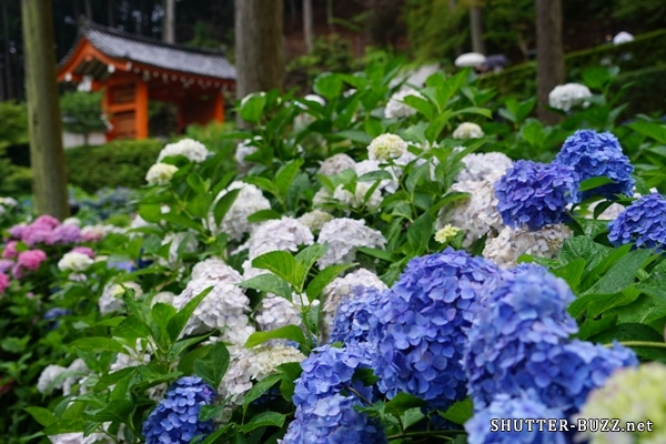 カラフルな紫陽花たちと三室戸寺の赤門と