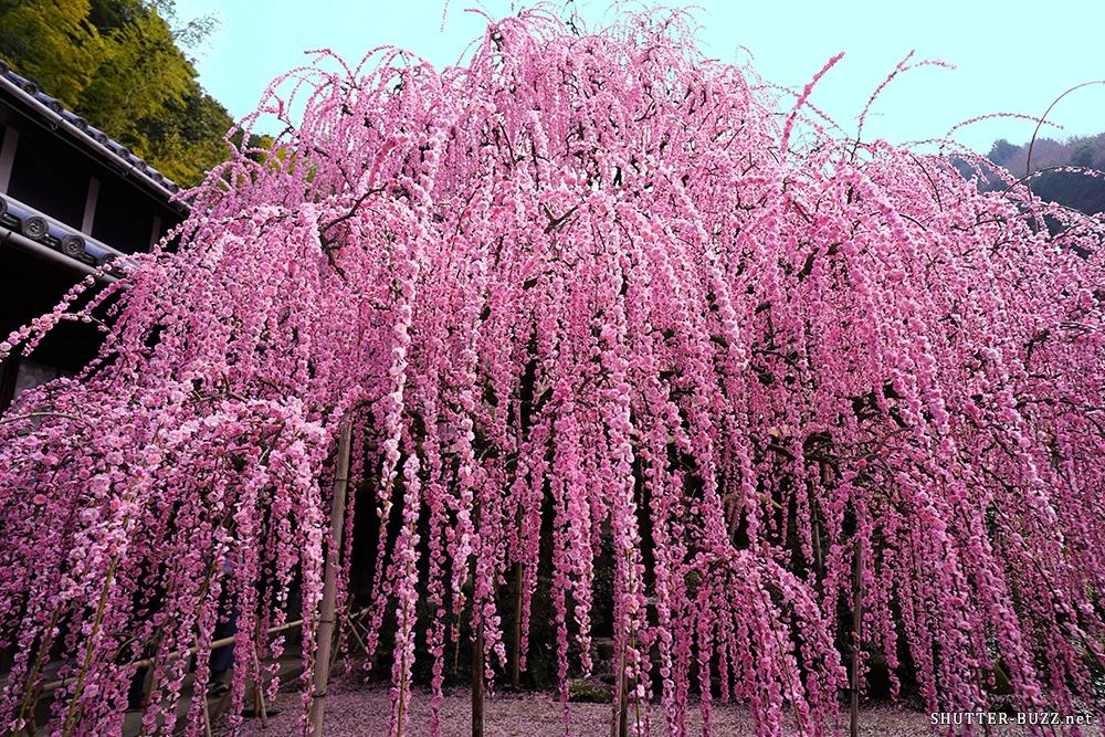 広角レンズでも収まらない満開の枝垂れ梅