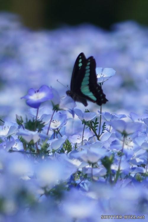 青いネモフィラに似合う青色の蝶