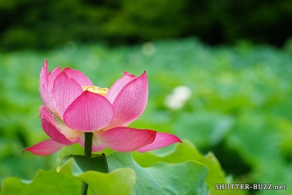 蓮の群生地に咲く一輪の花
