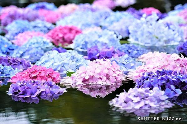 水に浮かぶ紫陽花リフレクション
