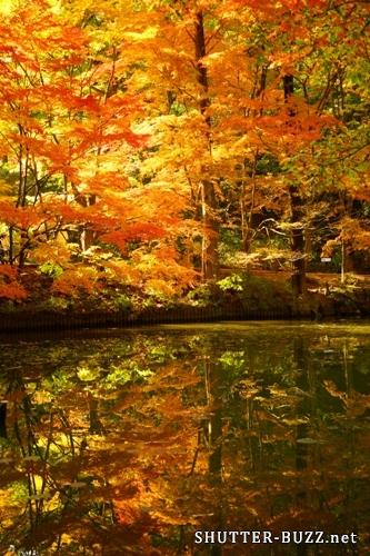 黄色く燃える紅葉鏡池