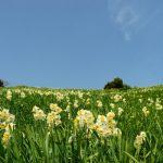 春の訪れ 斜面一面に咲く水仙 – SONY α7(ILCE-7)撮影