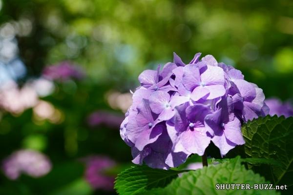 紫色の紫陽花とカラフル玉ボケ