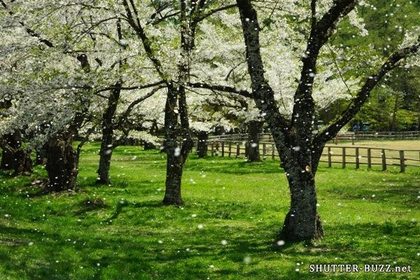 春の嵐に舞い散る桜吹雪