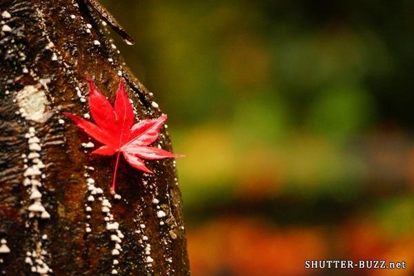 木の幹に引っかかった真っ赤なモミジ