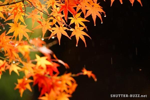 しっぽり滴る雫。雨の日こそ紅葉撮影