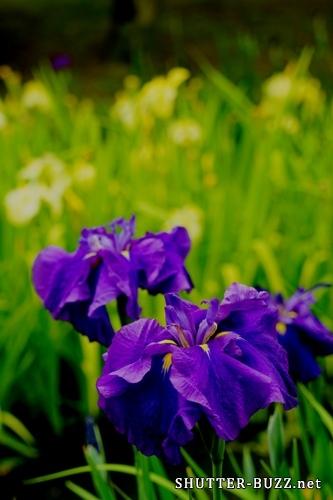 花菖蒲が創り出した紫と黄色の世界