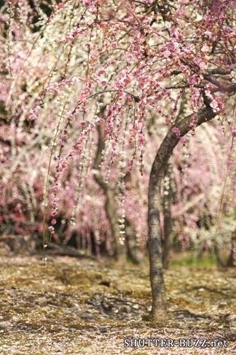 緑の苔に散りゆく白とピンクのしだれ梅 – SONY α7(ILCE-7)撮影