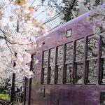 桜のトンネルを通過する嵐電の車窓にも桜模様 – SONY α7 III(ILCE-7M3)撮影