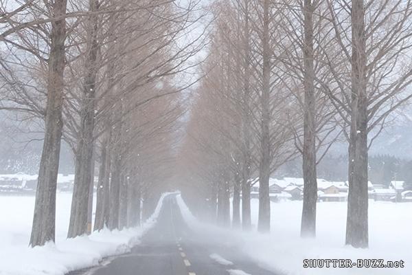 メタセコイア並木を妨げる風雪