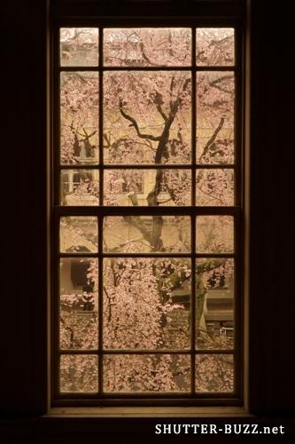 雨や曇りの日の桜撮影は格子窓越しに