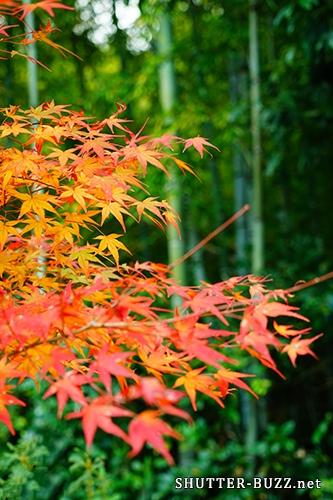 竹林の嵯峨嵐山で撮影した紅葉