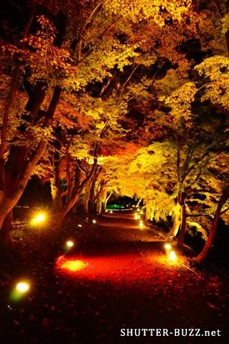 ライトアップされた紅葉に包まれた一本道