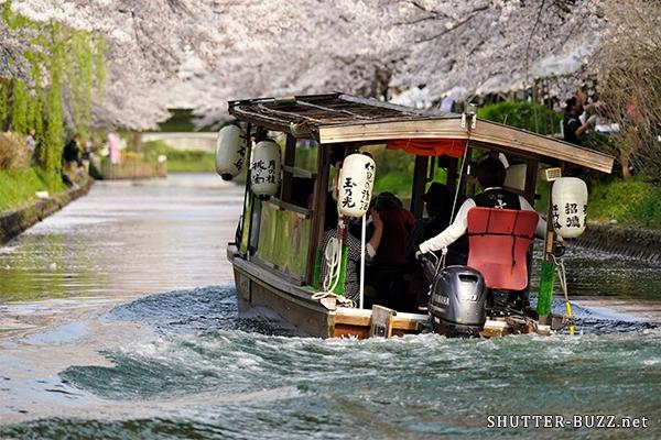桜のトンネルを進む十石舟