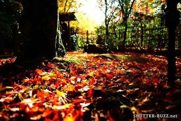 散り紅葉に射し込む光。木々の合間から射し込んだ光で輝く散り紅葉。