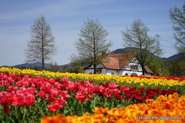 ブルーメの丘のドイツ風チューリップ畑