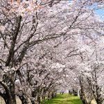 名も無き桜のトンネル – SONY α7 III(ILCE-7M3)撮影