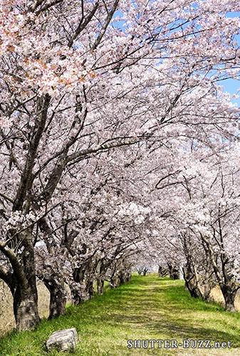 名も無き桜のトンネル