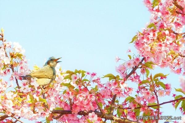 満開の桜を悦ぶ、ひよどり