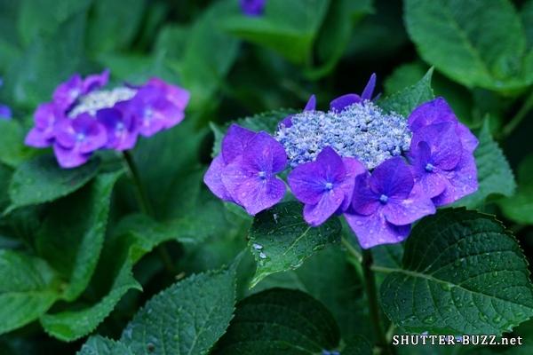 ガクアジサイから直垂落ちる雫は紫色