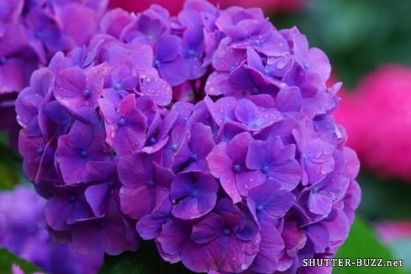 水滴で輝く紫陽花