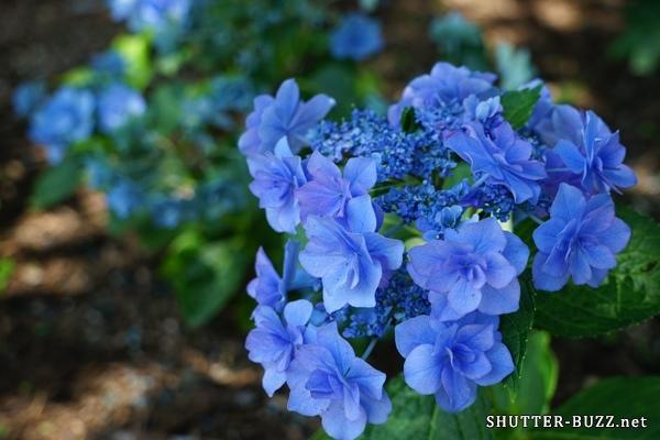 八重咲きで青い花弁のガクアジサイ