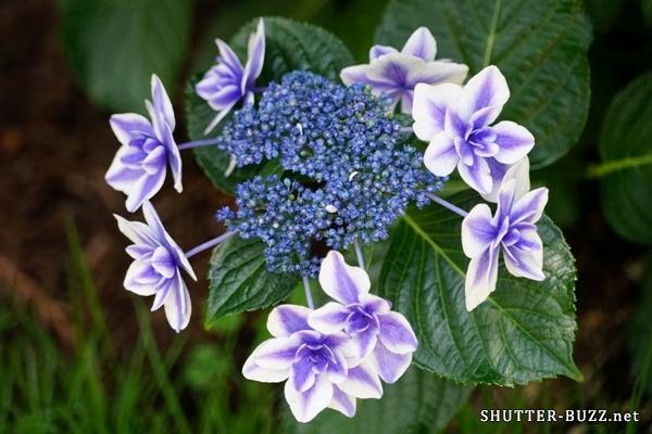 ガクアジサイ コンペイトウ。中心から先端に向かって青紫から白へとグラデーションしている珍しい品種。