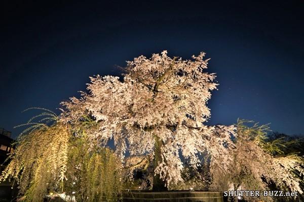 2018年も凄かった円山公園のしだれ桜