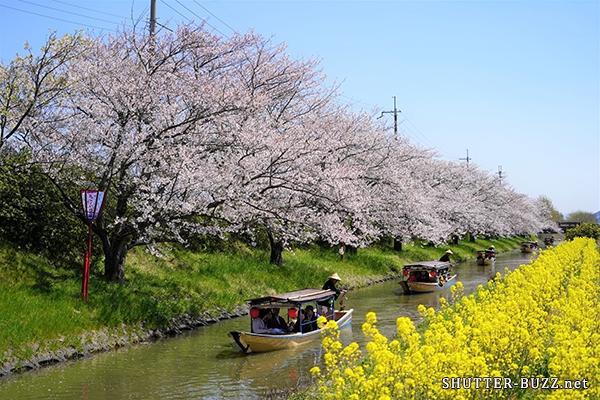 満開の桜並木と菜の花が見頃を迎えたタイミングで、水郷に手漕ぎ和舟が続々と5隻連なってやってくる瞬間