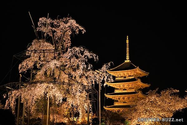 東寺・夜桜ライトアップ。不二桜と五重塔