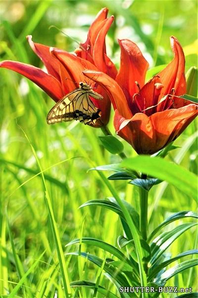 赤いゆりにつかまる黄色い蝶