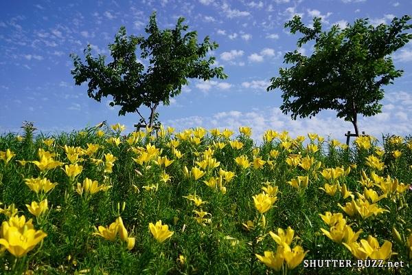 青空の下、見頃を迎えた黄色いゆり達。